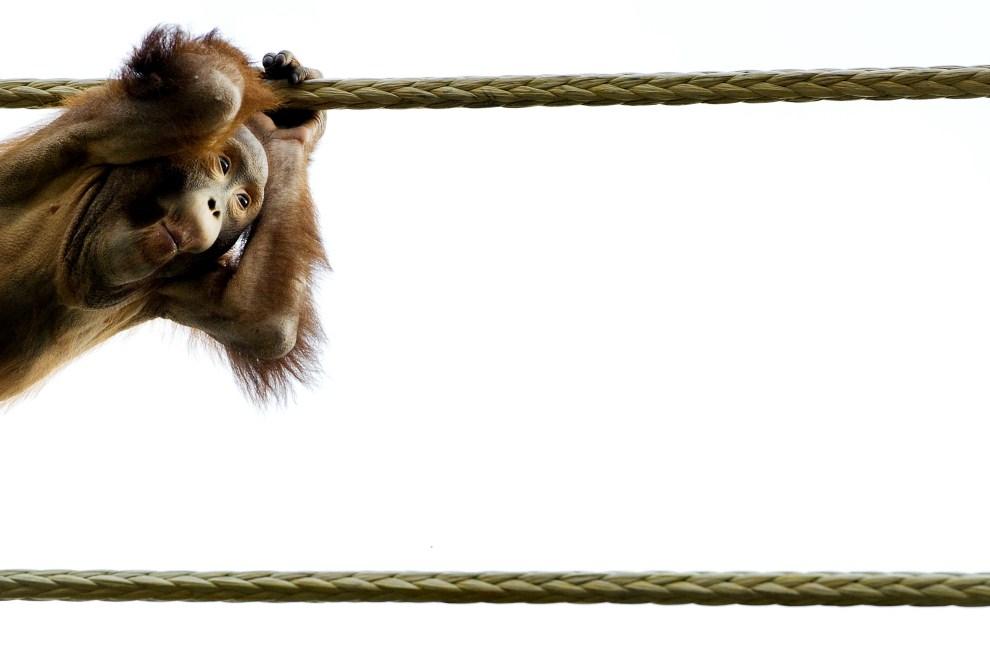 26. HOLANDIA, Rhenen, 25 marca 2011: Młody orangutan w miejskim zoo. AFP PHOTO/ANP/ KOEN VAN WEEL