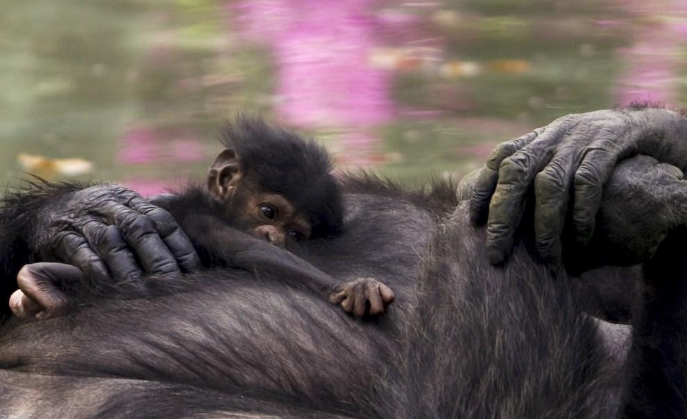 27. MEKSYK, Guadalajara, 31 marca 2011: Dwutygodniowy szympans, który urodził się w zoo, bawi się z matką. AFP PHOTO / Hector Guerrero