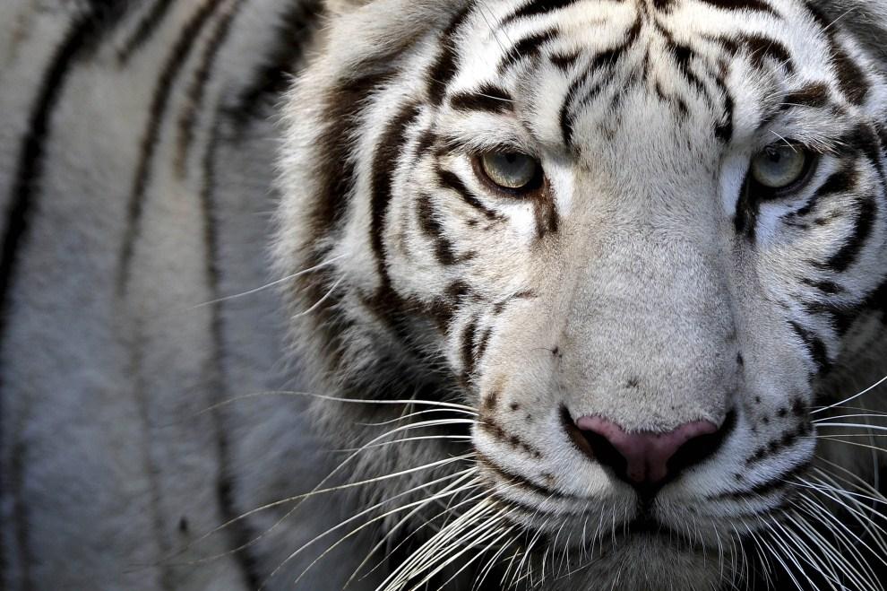 27. KOLUMBIA, Cali, 6 kwietnia 2011: Biay tygrys z ogrodu zoologicznego w Cali. AFP PHOTO/Luis ROBAYO