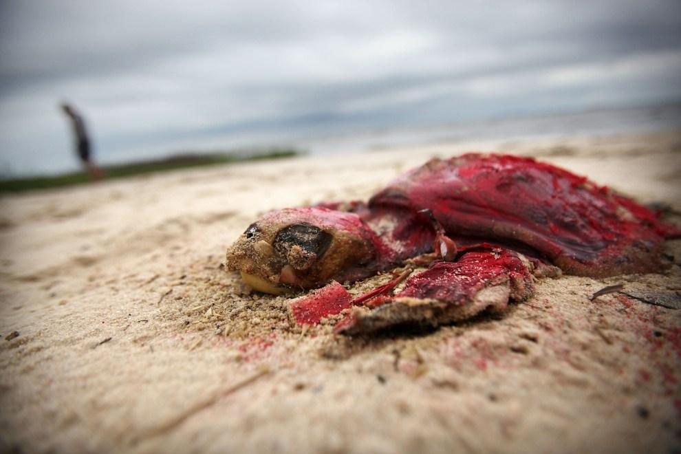 6. USA, Waveland, 14 kwietnia 2011: Martwy żółw wyrzucony na brzeg przez fale. Czerwona farba oznacza, że powinien zostać usunięty z plaży w przeciągu najbliższego tygodnia. Mario Tama/Getty Images/AFP