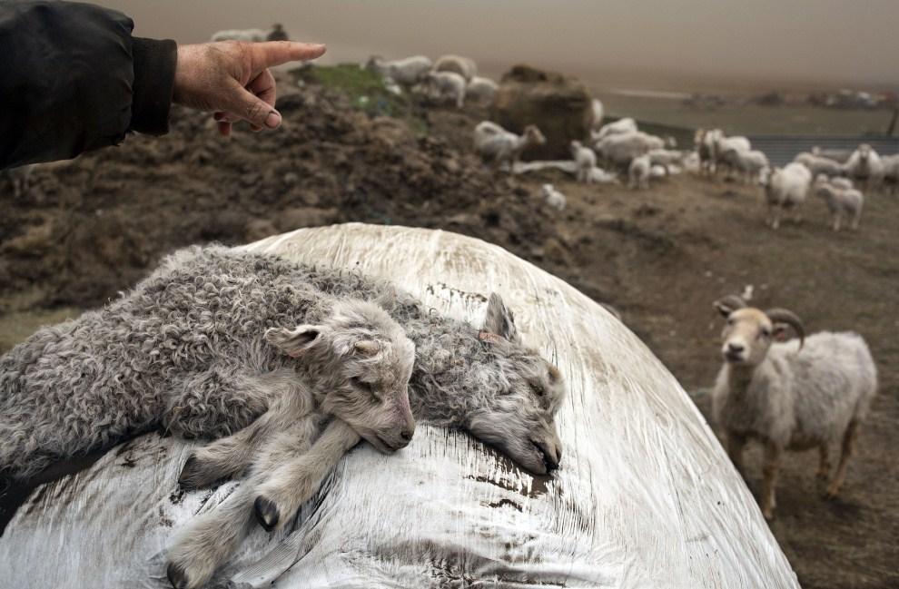 22. ISLANDIA, Amardrangi Landbroti, 25 maja 2011: Martwe owieczki – ofiary pyłu wulkanicznego. AFP PHOTO / RAGNAR AXELSSON