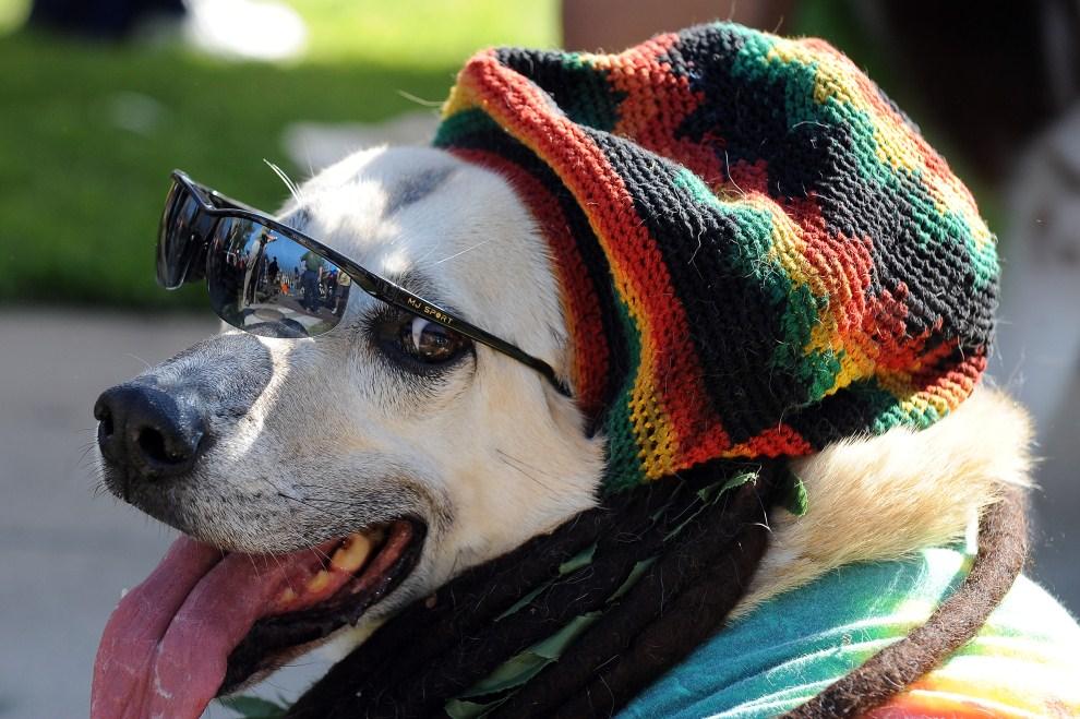 24. USA, Long Beach, 31 października 2010: Pies w kolorowej czapce i z doczepionymi dreadami. AFP PHOTO / Robyn Beck