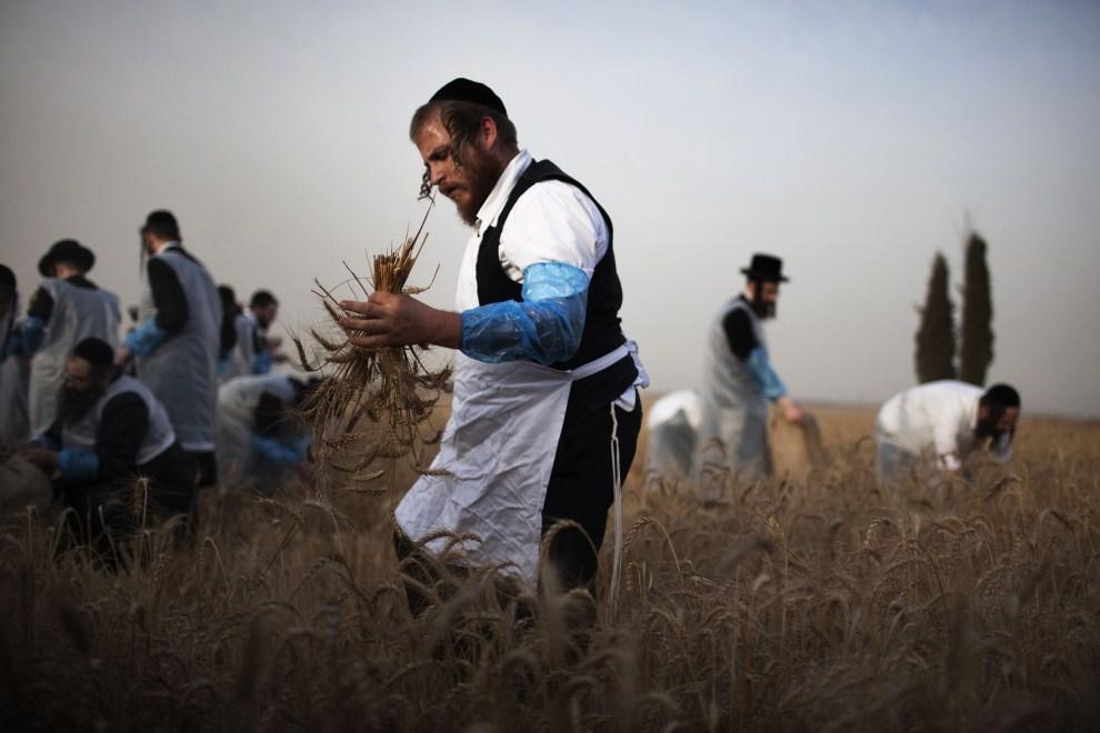 4. IZRAEL, Kirjat Gat, 17 maja 2011: Ultraortodoksyjni Żydzi podczas zbiorów pszenicy. AFP PHOTO/MENAHEM KAHANA