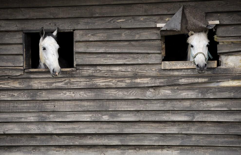10. SERBIA, Mazgit, 29 maja 2011: Konie wyglądają przez okna stajni. AFP PHOTO/ARMEND NIMANI