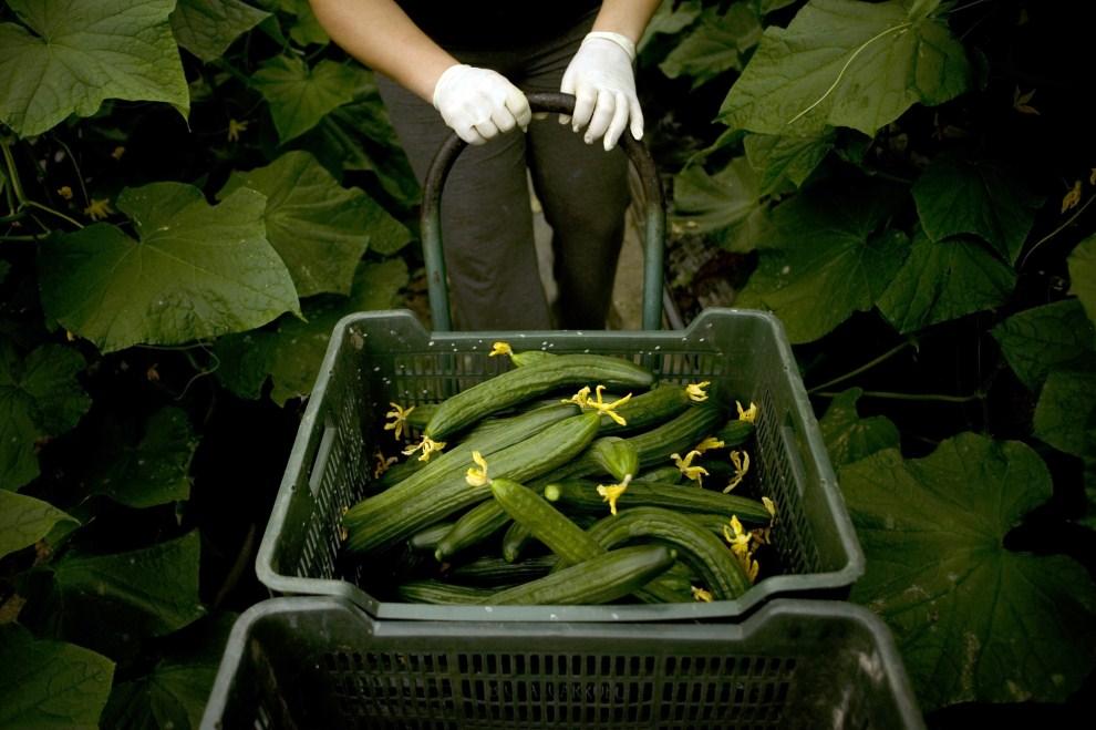 15. HISZPANIA, Algarrobo, 1 czerwca 2011: Rolnik zbiera ogórki na plantacji w Algarrobo. AFP PHOTO/ JORGE GUERRERO