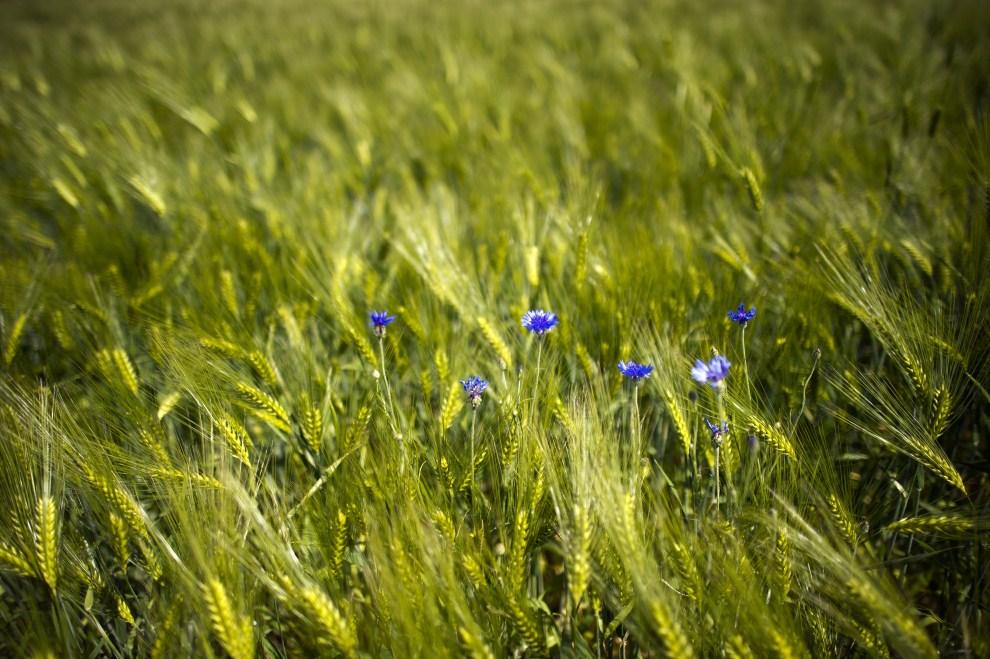 16. NIEMCY, Radwor, 30 maja 2011: Chabry rosnące w zbożu na wschodzie Niemiec. AFP PHOTO ARNO BURGI