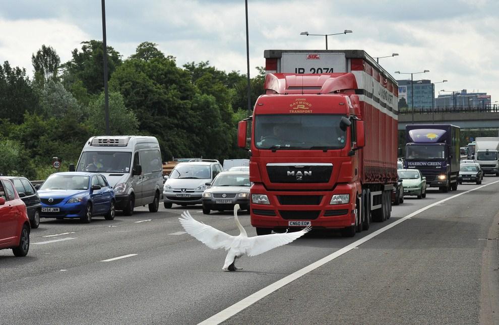26. WIELKA BRYTANIA, Londyn, 15 czerwca 2011: Łabędź wstrzymujący ruch na autostradzie M4 w pobliżu Londynu. AFP PHOTO/Carl de Souza