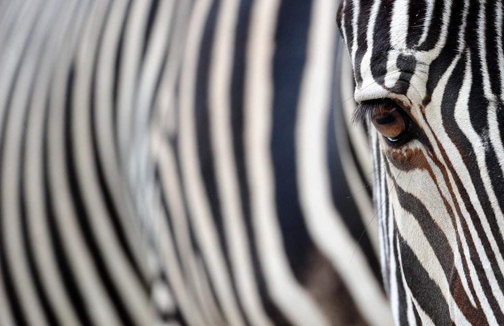 29. NIEMCY, Berlin, 14 czerwca 2011: Zebra z berlińskiego ogrodu zoologicznego. AFP PHOTO / JOHANNES EISELE