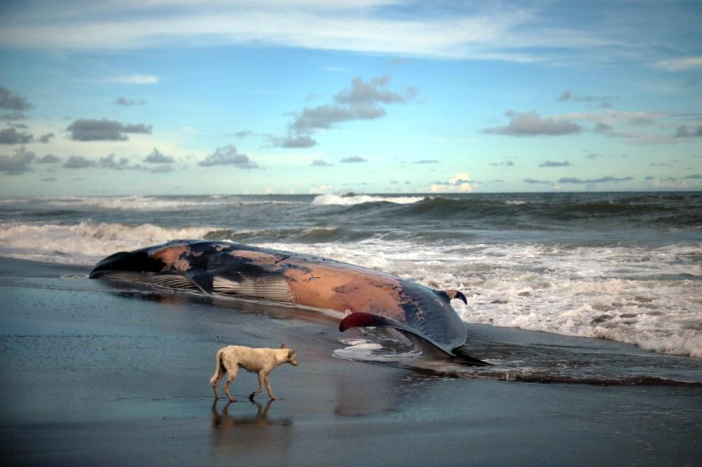 15. SALWADOR, Toluca, 4 lipca 2011: Pies przechodzi obok wyrzuconego na brzeg  humbaka. AFP PHOTO/Jose CABEZAS