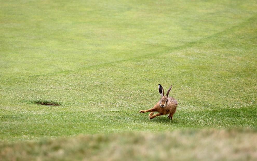 16. WIELKA BRYTANIA, Sandwich, 14 lipca 2011: Zając przy 6. dołku na polu golfowym podczas turnieju British Open Golf Championship. AFP PHOTO / ADRIAN DENNIS