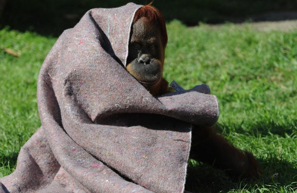 17. BRAZYLIA, Rio de Janeiro, 11 lipca 2011: Orangutan z ogrodu zoologicznego chroni się przed zimnem. AFP PHOTO/VANDERLEI ALMEIDA