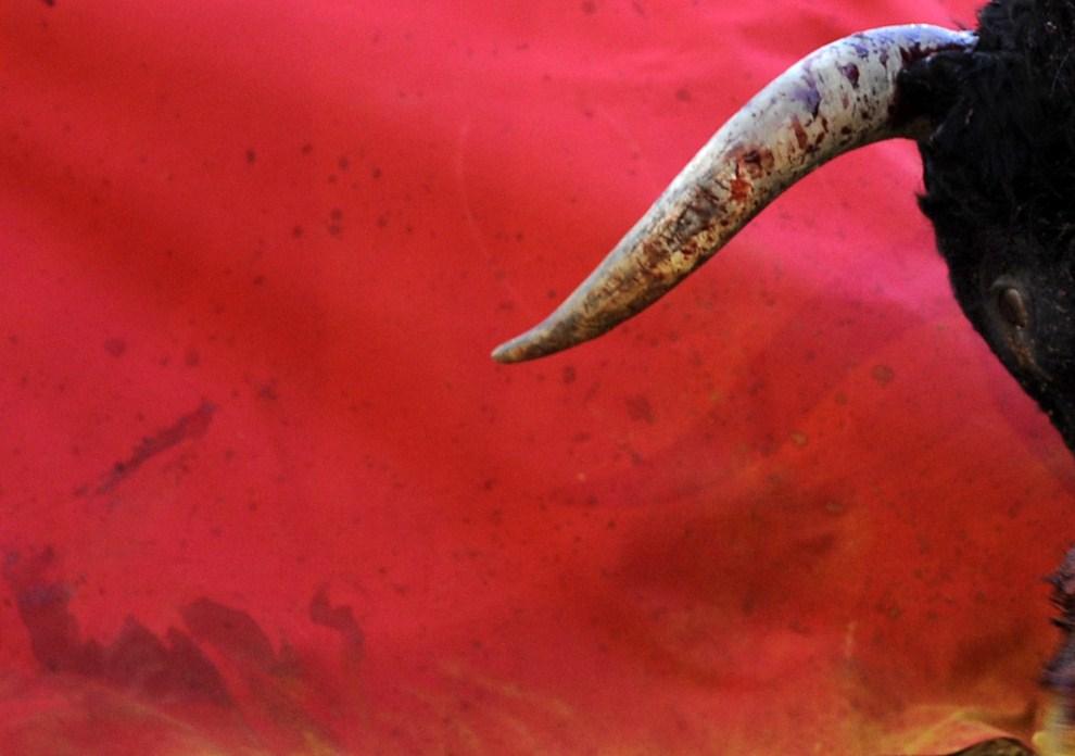 1. HISZPANIA, Sewilla, 6 maja 2011: Byk atakujący mulet na  arenie Maestranza. AFP PHOTO/ CRISTINA QUICLER