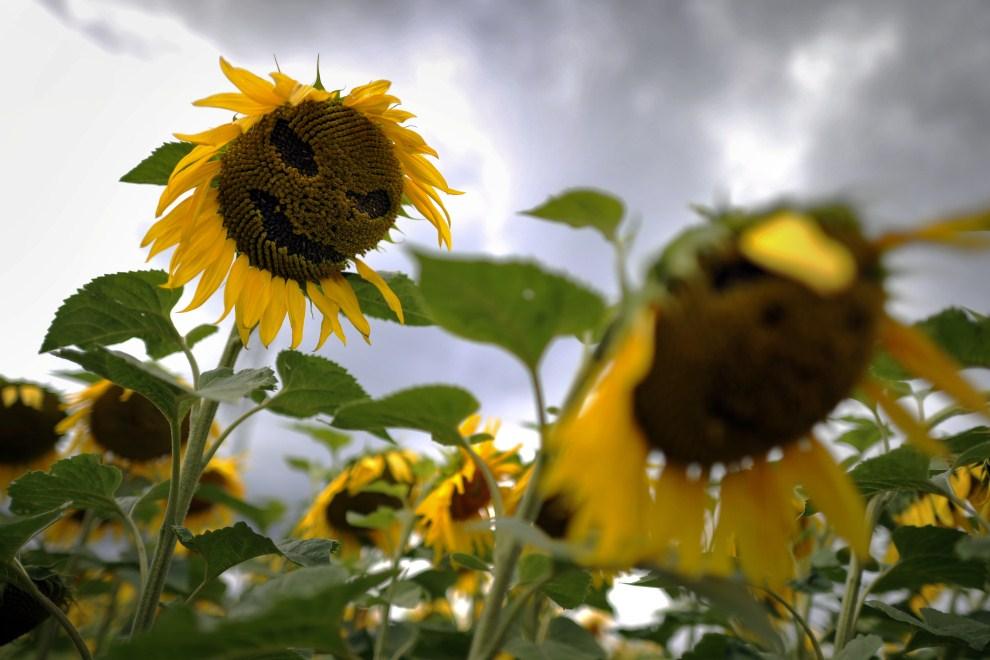 1. SZWAJCARIA, Nyon, 20 lipca 2011: Słoneczniki z usuniętymi przez uczestników festiwalu Paleo nasionami. AFP PHOTO/ FABRICE COFFRINI