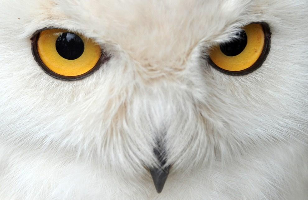 26. NIEMCY, Hanower, 5 lipca 2011: Sowa śnieżna mieszkająca w miejskim ogrodzie zoologicznym. AFP PHOTO / JOCHEN LUEBKE GERMANY OUT