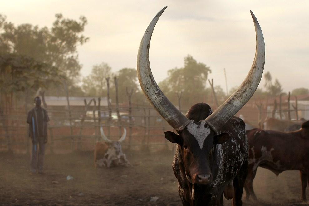 26. SUDAN, Dżuba, 12 stycznia 2011: Bydło wystawione na sprzedaż na targu w Dżubie. (Foto: Spencer Platt/Getty Images)
