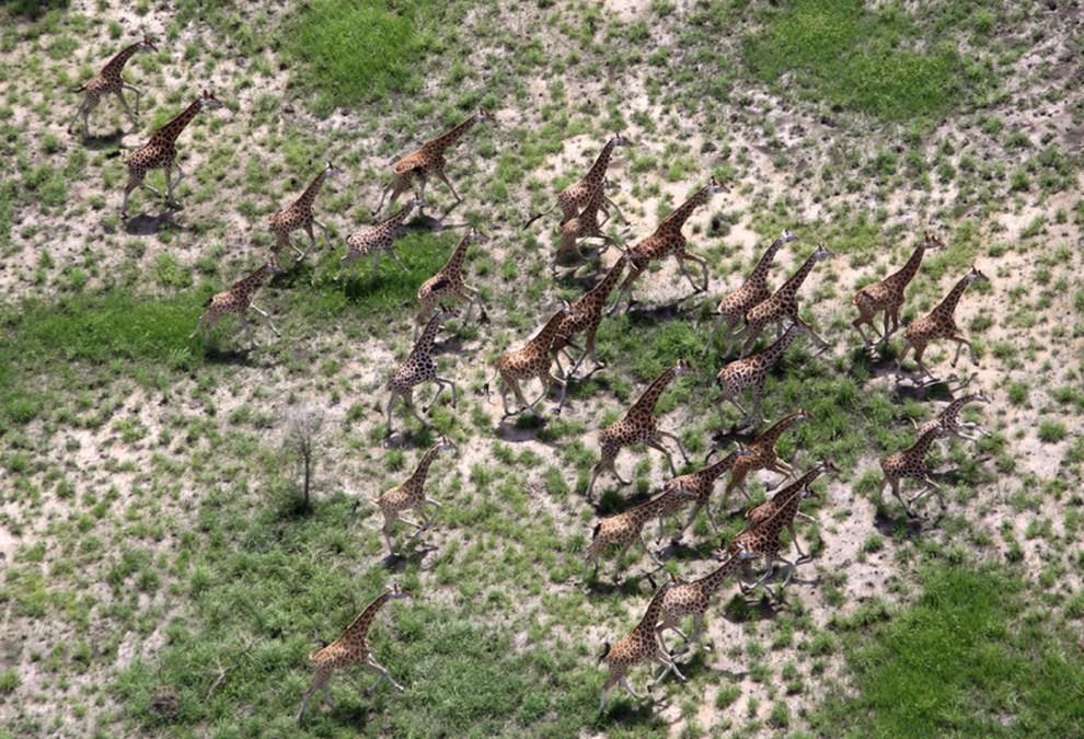 27. SUDAN, Bala Pools, 6 lipca 2011: Stado żyraf zamieszkujące obszar Parku Narodowego Bandiglio. AFP PHOTO/PETER MARTELL