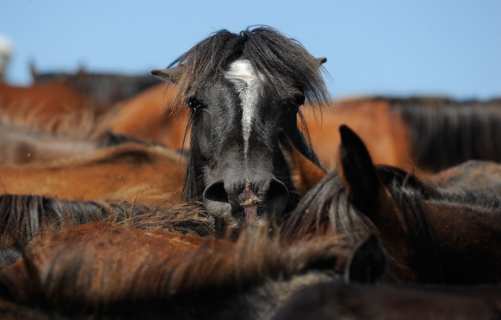 """28. HISZPANIA, Mougas, 1 lipca 2011: Stado dzikich koni spędzonych w pobliże miasta z okazji """"Rapa das bestas"""". (Foto: Denis Doyle/Getty Images)"""