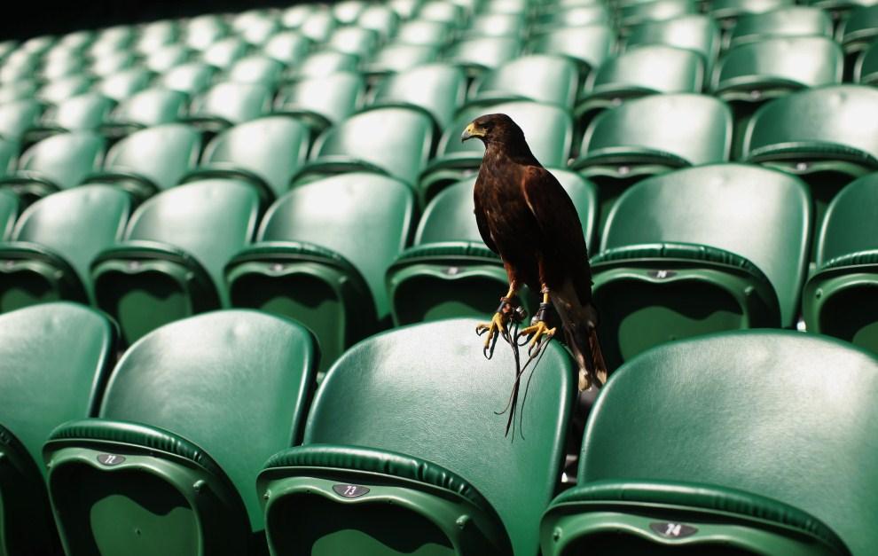 3. WIELKA BRYTANIA, Londyn, 1 lipca 2011: Rufus, myszołowiec towarzyski, odstrasza gołębie usiłujące wlecieć na korty. (Foto: Oli Scarff/Getty Images)