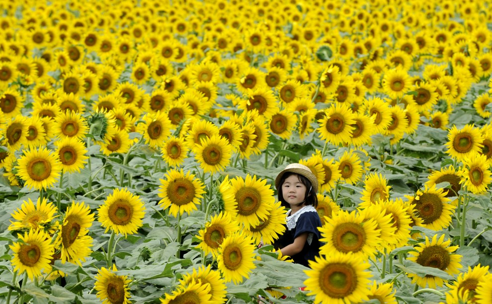 8. JAPONIA, Nogi, 24 lipca 2011: Dziewczynka z ramion ojca przygląda się słonecznikom na polu w pobliżu Nogi. AFP PHOTO / KAZUHIRO NOGI