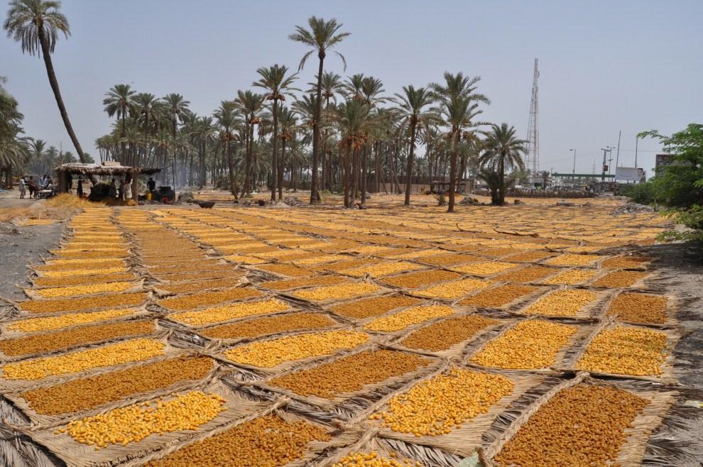 12. PAKISTAN, Rajankot, 23 lipca 2011: Gotowane daktyle suszone w słońcu. AFP PHOTO/YOUSUF NAGORI