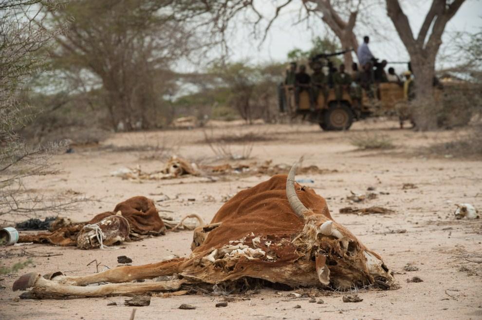 7. SOMALIA, Dhobley, 11 sierpnia 2011: Wysuszone szczątki bydła na pustyni w pobliżu Granicy z Etiopią. AFP PHOTO/PHIL MOORE