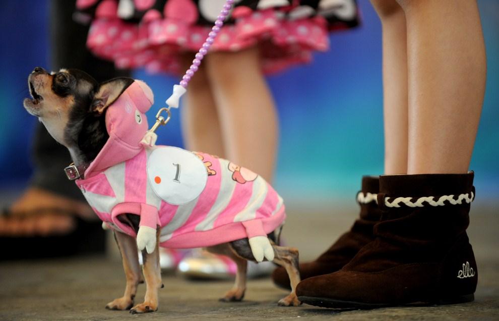 16. FILIPINY, Manila, 23 października 2011: Chihuahua w przebraniu świnki podczas wystawy psów w Manili. AFP PHOTO/NOEL CELIS
