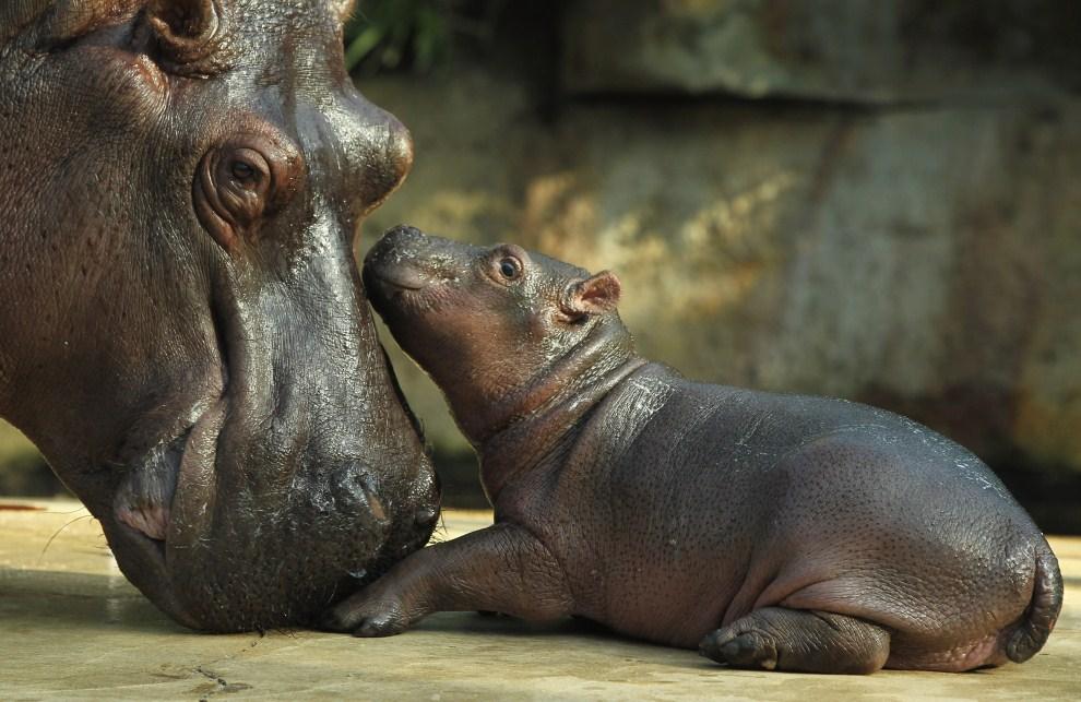 23. NIEMCY, Berlin 1 listopada 2011: Nowo narodzony hipopotam z berlińskiego ogrodu zoologicznego. (Foto: Sean Gallup/Getty Images)