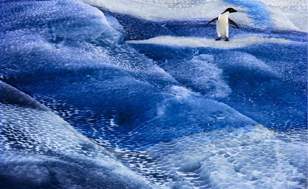 25. ANTARKTYDA, Morze Rossa: Niedatowane zdjęcie upublicznione w mijającym tygodniu przedstawia pingwina płynącego na krze lodowej. AFP PHOTO / Antarctic Ocean Alliance /   John WELLER
