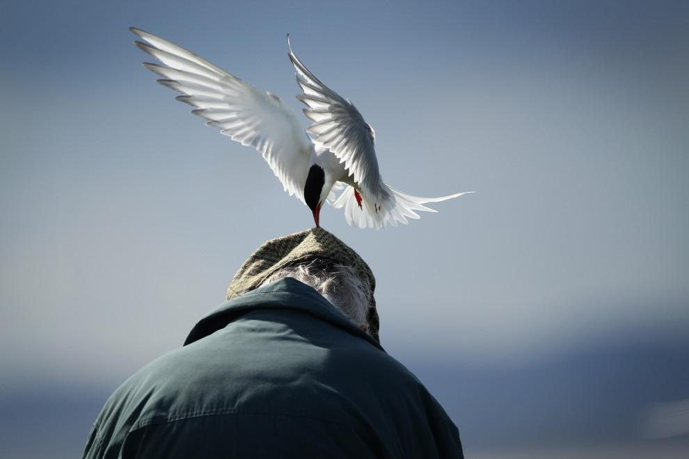 15.WIELKA BRYTANIA, Seahouses, 25 czerwca 2011: Rybitwa popielata atakuje mężczyznę spacerującego w pobliżu ptasich gniazd. (Foto:  Dan Kitwood/Getty Images)