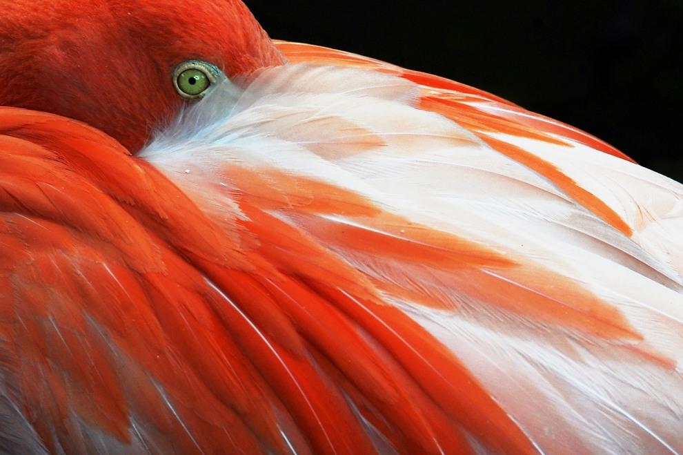 28.KOLUMBIA, Cali, 13 lipca 2011: Flaming z ogrodu zoologicznego w Cali. AFP PHOTO / Luis ROBAYO
