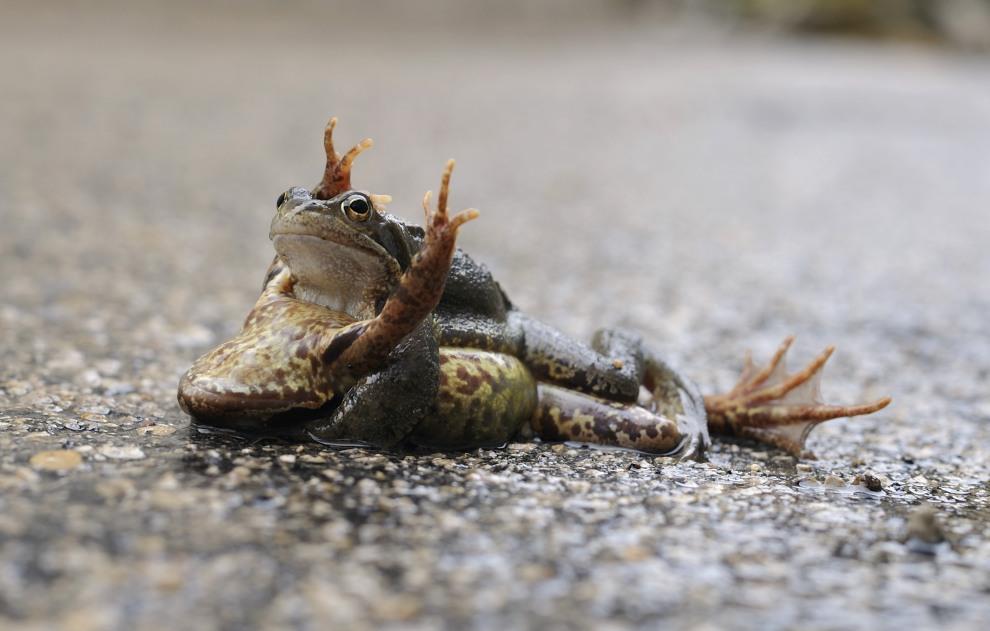 31.FRANCJA, Mijoux, 19 marca 2011: Kopulujące żaby na drodze do Mijoux. AFP PHOTO ERIC FEFERBERG