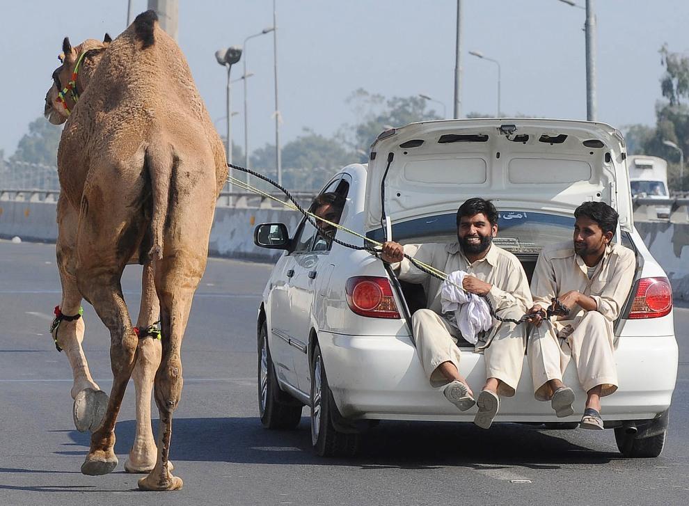 35.PAKISTAN, Lahore, 6 listopada 2011: Mężczyzna prowadzi kupionego przed chwilą wielbłąda. AFP PHOTO/ Arif ALI