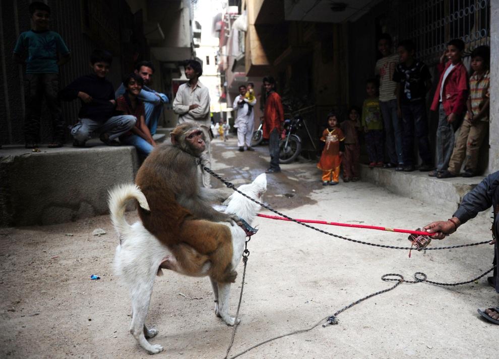 3.PAKISTAN, Karaczi, 16 stycznia 2012: Pokaz tresury zwierząt na ulicy w Karaczi. AFP PHOTO / ASIF HASSAN