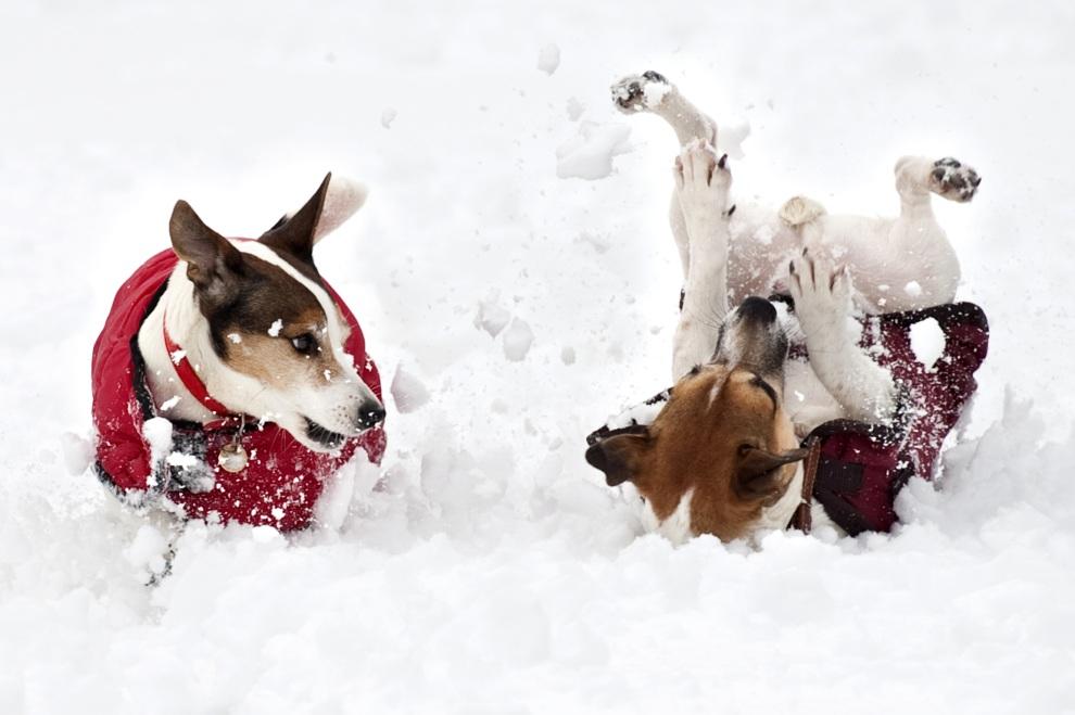 14.WIELKA BRYTANIA, Sandringham, 5 lutego 2012: Psy bawiące się w śniegu. AFP PHOTO/BEN STANSALL