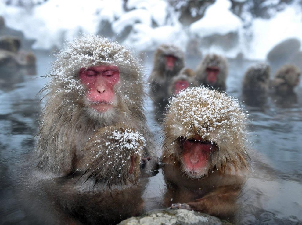 2.JAPONIA, Yamanouchi, 24 stycznia 2012: Małpy w ciepłych wodach źródła w parku   Jigokudani. AFP PHOTO / JIJI PRESS