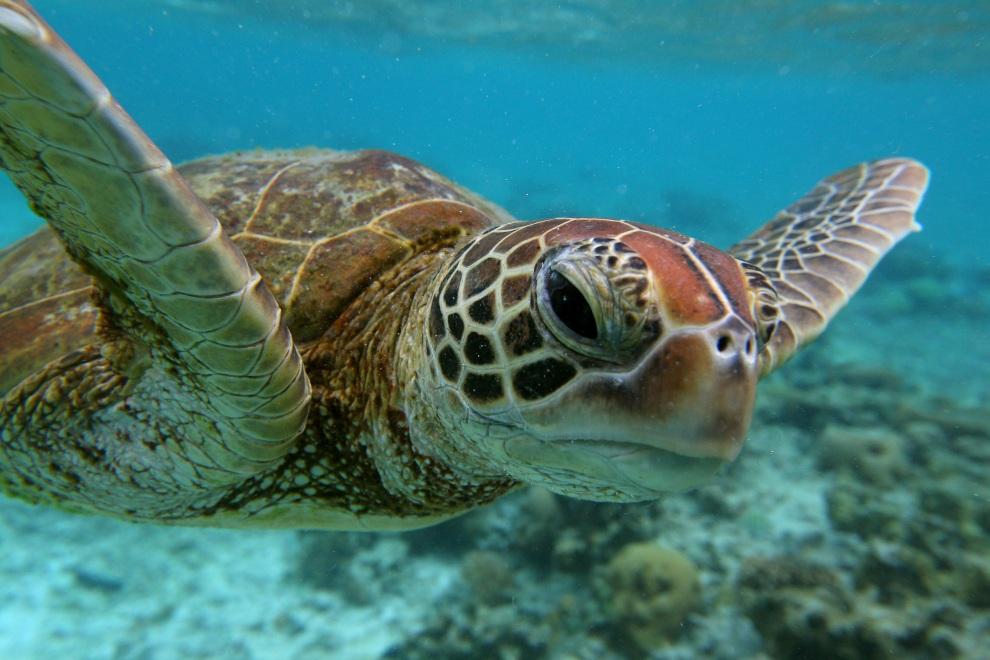 34.AUSTRALIA, Lady Elliot Island, 15 stycznia 2012: Żółw szylkretowy w wodach Wielkiej Rafy Koralowej. (Fot: Mark Kolbe/Getty Images)
