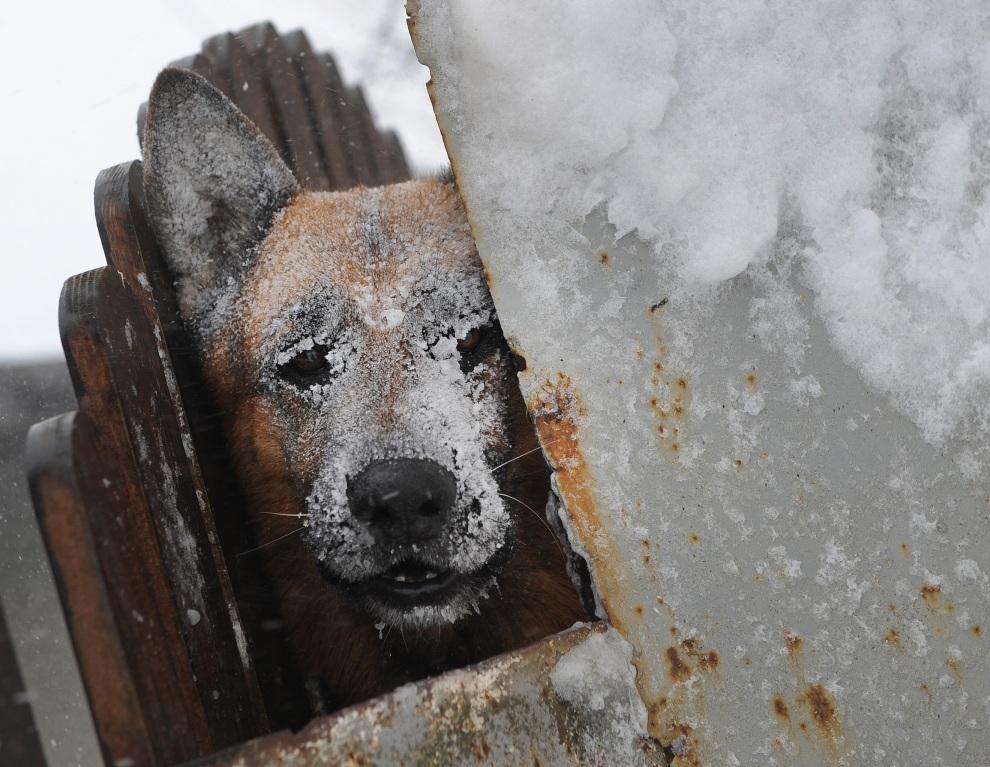 4.RUMUNIA, Bukareszt, 26 stycznia 2012: Pies chowa się przed burzą średnią. AFP PHOTO / DANIEL MIHAILESCU