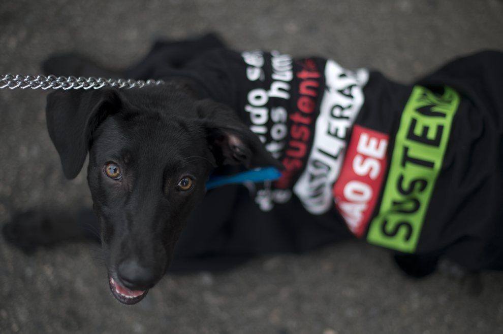 20.BRAZYLIA, Rio de Janeiro, 17 czerwca 2012: Pies uczestniczący w manifestacji przeciw obecności prezydenta Iranu. AFP PHOTO / Christophe Simon