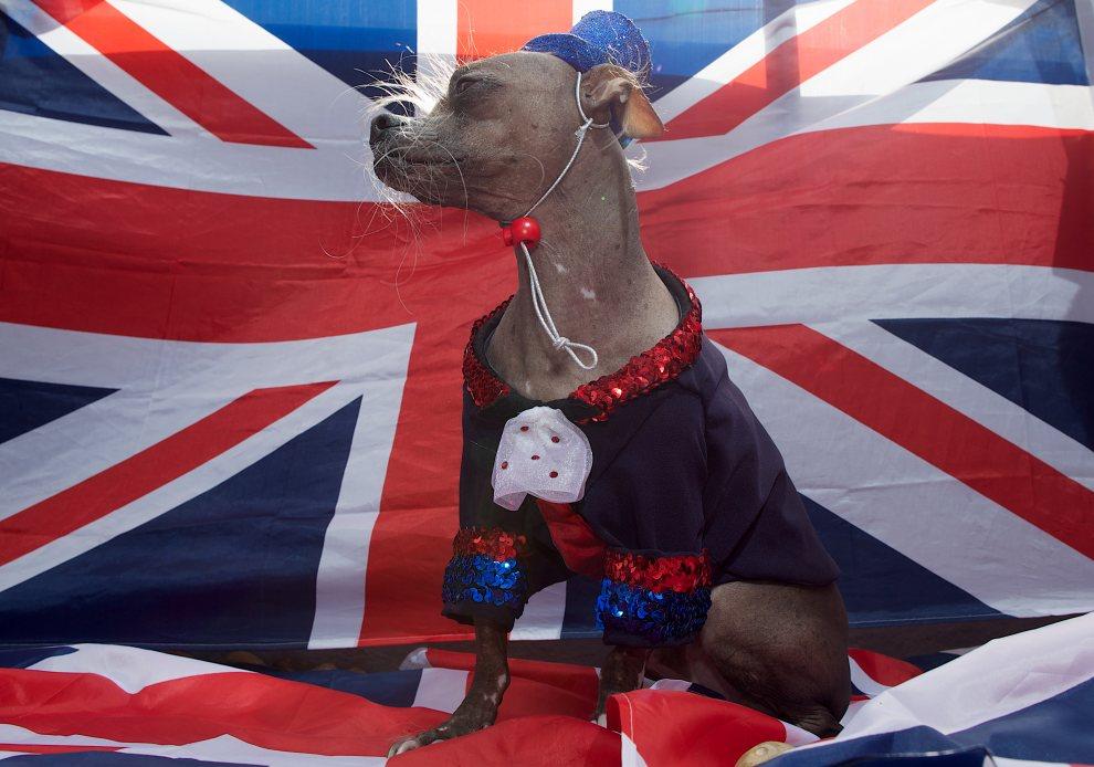 1.WIELKA BRYTANIA, Londyn, 28 czerwca 2012: Grzywacz chiński o 'Mugly' wybrany najbrzydszym psem na świecie. AFP PHOTO / ANDREW COWIE