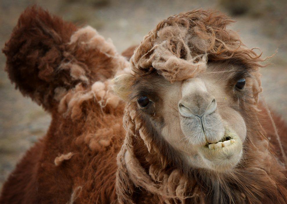 2.MONGOLIA, Pustynia Gobi, 23 czerwca 2012: Wielbłąd na pustyni Gobi. AFP PHOTO / Mark RALSTON