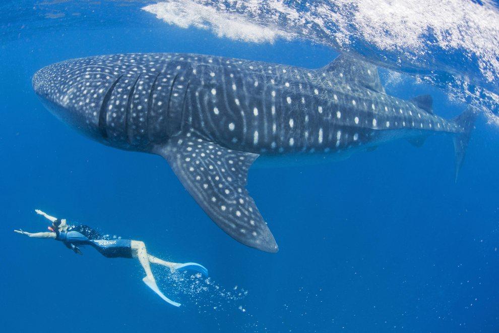 13.MEKSYK, Cancún, 8 lipca 2012:  Amerykańska aktorka Maggie Q swims pływa w towarzystwie rekina wielorybiego. AFP PHOTO / Paul Hilton/