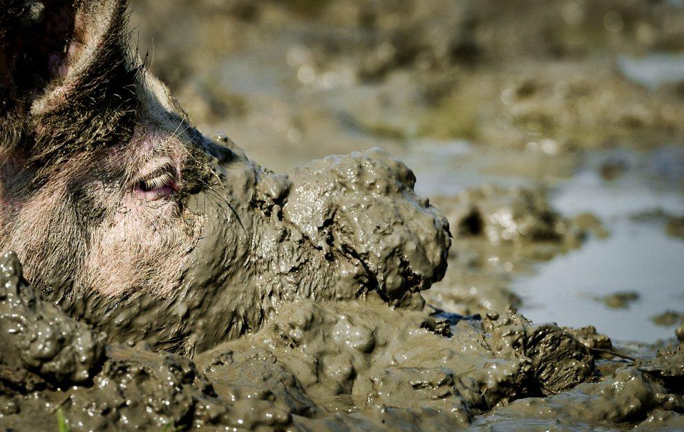 13.HOLANDIA, Buren, 26 lipca 2012: Świnia tarzająca się w błocie. AFP PHOTO/ ANP KOEN VAN WEEL