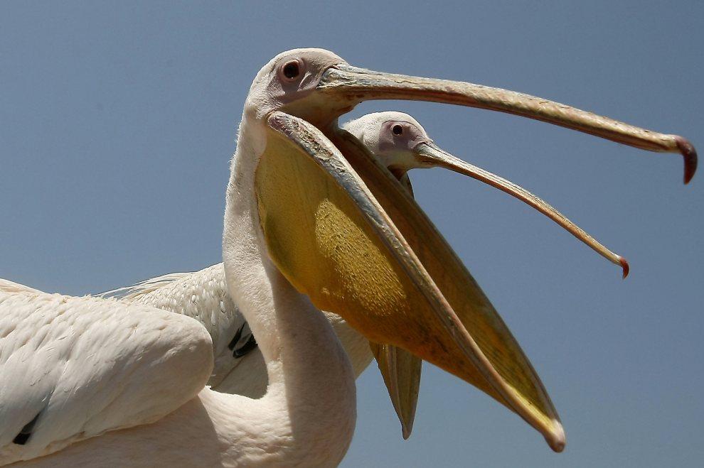 15.LIBAN, Sydon, 10 lipca 2012: Dwa pelikany uratowane przez rybaków po tym, jak zostały postrzelone przez myśliwych. AFP PHOTO / MAHMOUD ZAYYAT