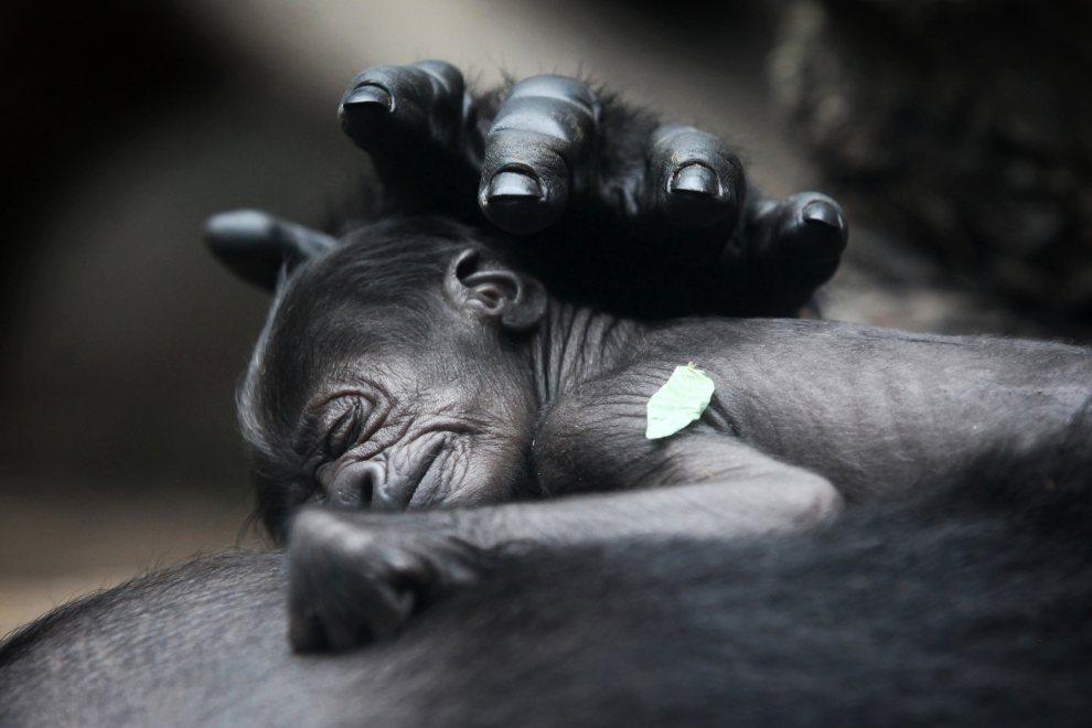 17.NIEMCYY, Frankfurt nad Menem, 12 lipca 2012: Mały goryl śpi na piersi matki. AFP PHOTO / FREDRIK VON ERICHSEN