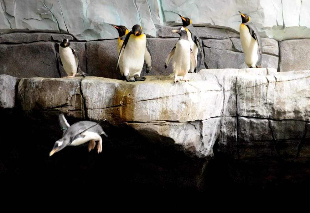 20.NIEMCY, Hamburg, 5 lipca 2012: Pingwiny z ogrodu zoologicznego w Hamburgu. AFP PHOTO / ANGELIKA WARMUTH