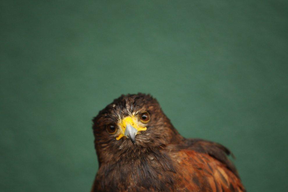 21.WIELKA BRYTANIA, Londyn, 2 lipca 2012: Jastrząb o imieniu Rufus, odstraszający gołębie na kortach Wimbledonu. (Foto: Dan   Kitwood/Getty Images)