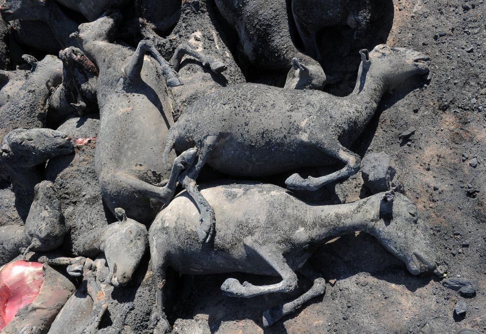 31.HISZPANIA, La Jonquera, 23 lipca 2012: Cześć stada owiec, które zginęły w pożarze. AFP PHOTO / LLUIS GENE