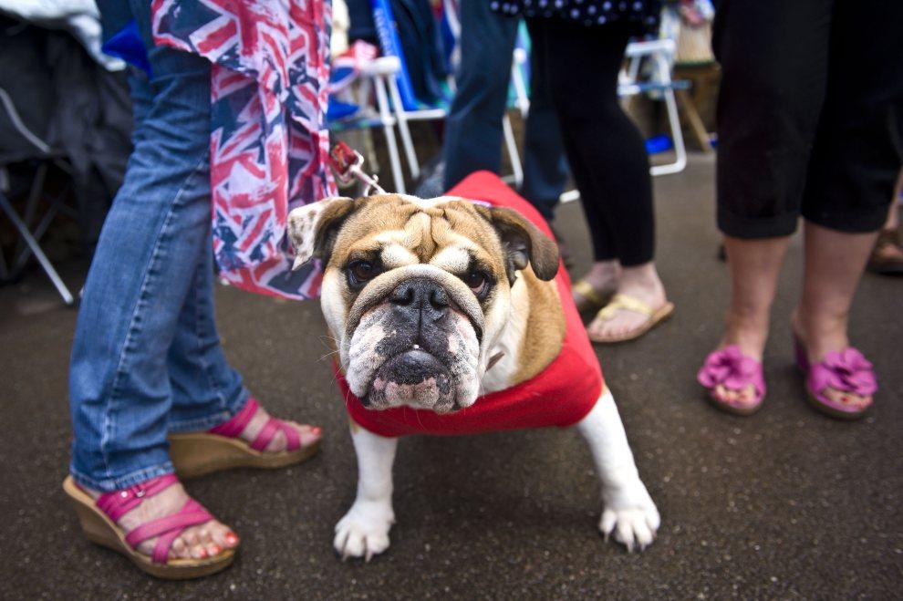 5.WIELKA BRYTANIA, Newport, 7 lipca 2012: Bulldog witający wraz z właścicielką sztafetę olimpijską. (Foto: LOCOG via Getty Images)