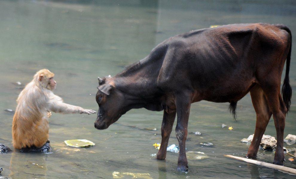 6.NEPAL, Katmandu, 25 maja 2012: Małpa i byk chłodzą się w wodzie rzeki Bagamti. AFP PHOTO/Prakash MATHEMA