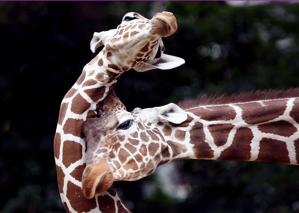 11.NIEMCY, Kolonia, 2 sierpnia 2012: Żyrafy z ogrodu zoologicznego w Kolonii. AFP PHOTO / OLIVER BERG